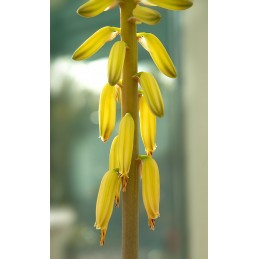 Fleurs de Bach bio Elixir floral de la FES Aloe Vera
