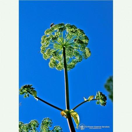 Angelica élixir floral californien FES
