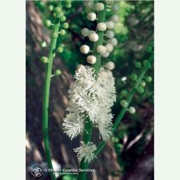 Black Cohosh élixir floral californien FES