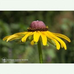 Black Eyed Susan élixir floral californien FES