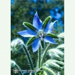 Borage élixir floral californien FES