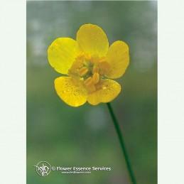 Buttercup élixir floral californien FES