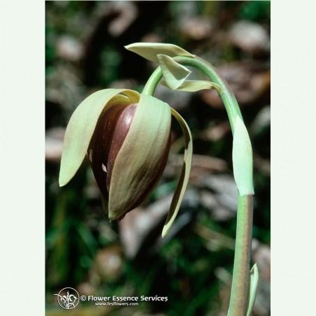 California Pitcher Plant élixir floral californien FES