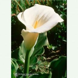 Calla Lily élixir floral californien FES
