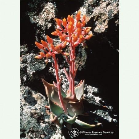 Canyon Dudleya élixir floral californien FES