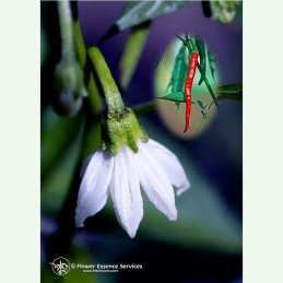 Cayenne élixir floral californien FES