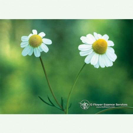 Chamomile élixir floral californien FES