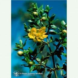 Chaparral élixir floral californien FES
