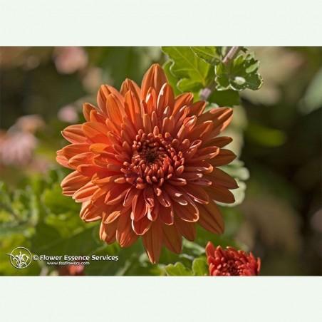 Chrysanthemum élixir floral californien FES