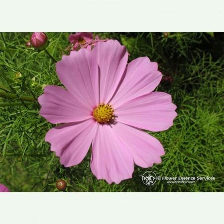 Cosmos élixir floral californien FES