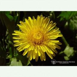 Dandelion élixir floral californien FES