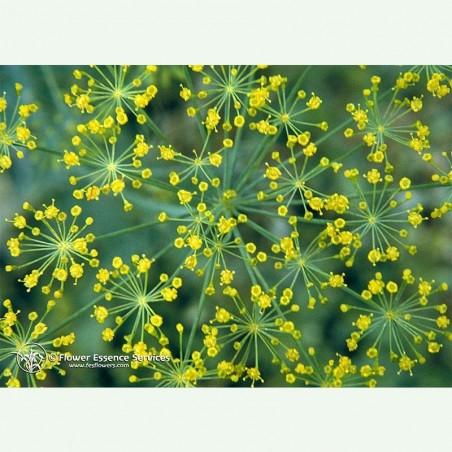 Dill élixir floral californien FES