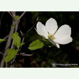 Dogwood élixir floral californien FES