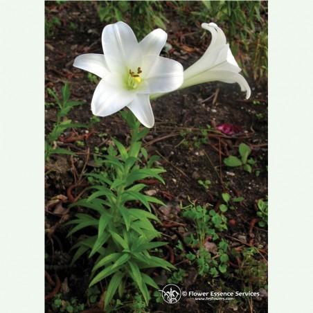 Easter Lily élixir floral californien FES