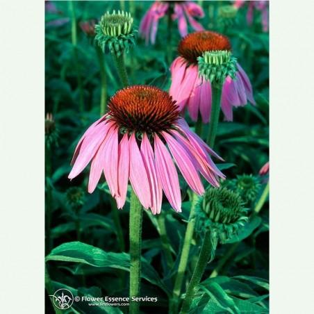 Echinacea élixir floral californien FES