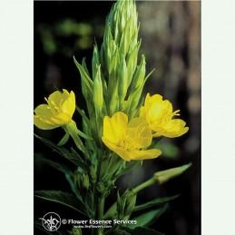 Evening primrose élixir floral californien FES