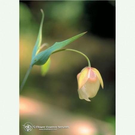 Fairy Lantern élixir floral californien FES