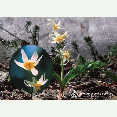 Fawn Lily élixir floral californien FES