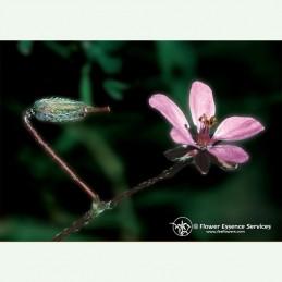 Filaree élixir floral californien FES