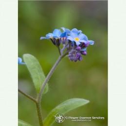 Forget-Me-Not élixir floral californien FES