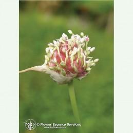Garlic élixir floral californien FES