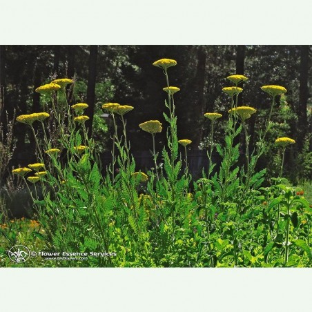 Golden Yarrow élixir floral californien FES