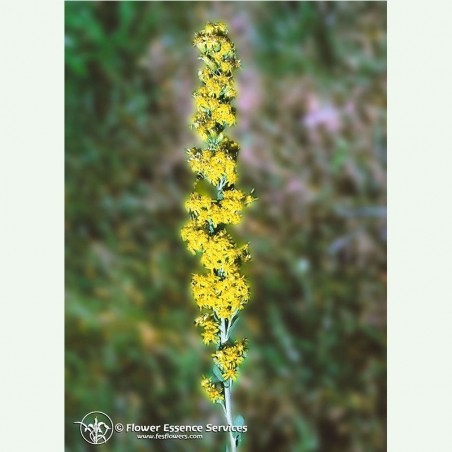 Goldenrod élixir floral californien FES