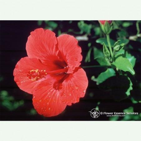 Hibiscus élixir floral californien FES