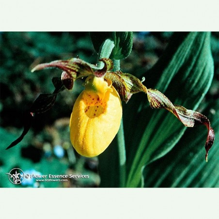 Lady's Slipper élixir floral californien FES