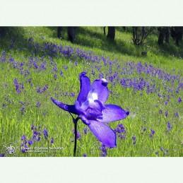 Larkspur élixir floral californien FES