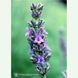 Lavender élixir floral californien FES