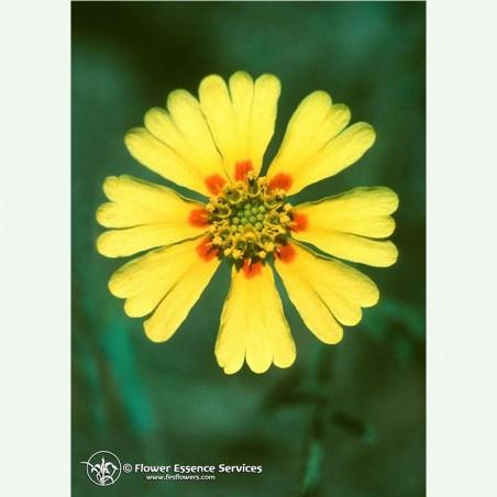 Madia élixir floral californien FES