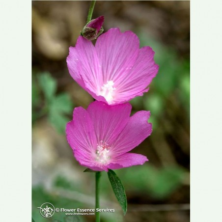 Mallow élixir floral californien FES