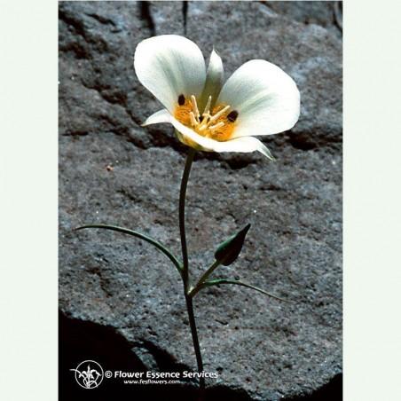 Mariposa Lily élixir floral californien FES