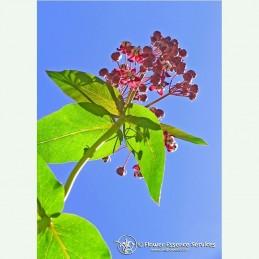 Milkweed élixir floral californien FES