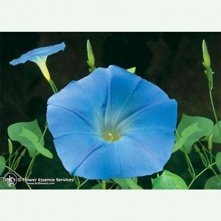 Morning Glory élixir floral californien FES
