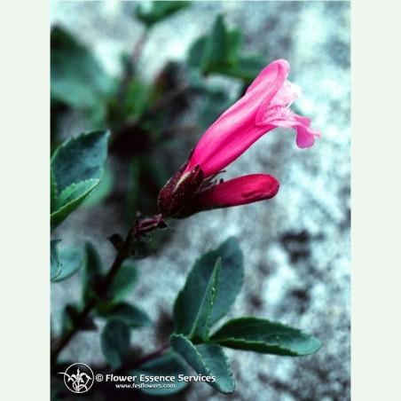 Mountain Pride élixir floral californien FES