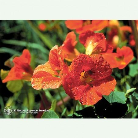 Nasturium élixir floral californien FES