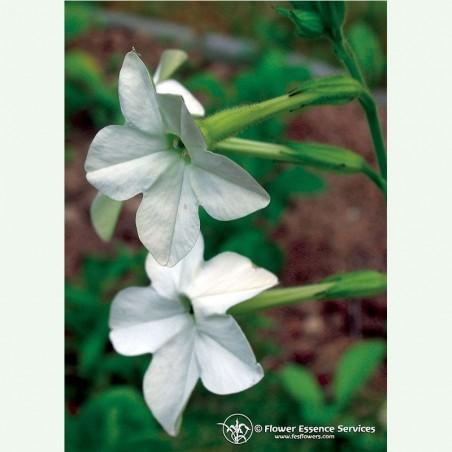 Nicotiana élixir floral californien FES