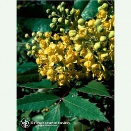 Oregon grape élixir floral californien FES