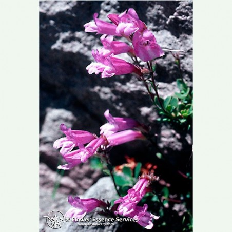 Penstemon élixir floral californien FES