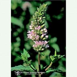 Peppermint élixir floral californien FES