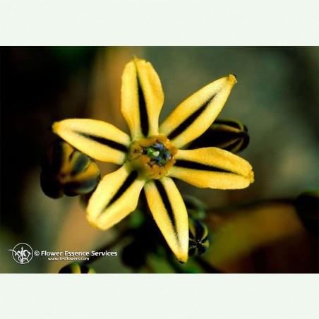 Pretty Face élixir floral californien FES