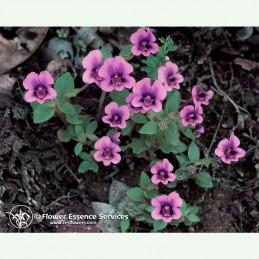 Purple Monkeyflower élixir floral californien FES