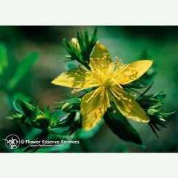 Saint John's Wort élixir floral californien FES