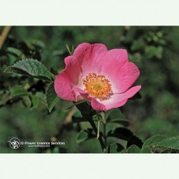 California Wild Rose élixir floral californien FES