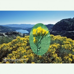 Rabbitbrush élixir floral californien FES