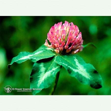 Red Clover élixir floral californien FES